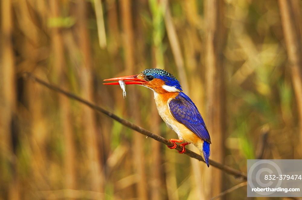 Malachite Kingfisher (Alcedo cristata), with prey at the bank of the Chobe River, Chobe National Park, Botswana, Africa