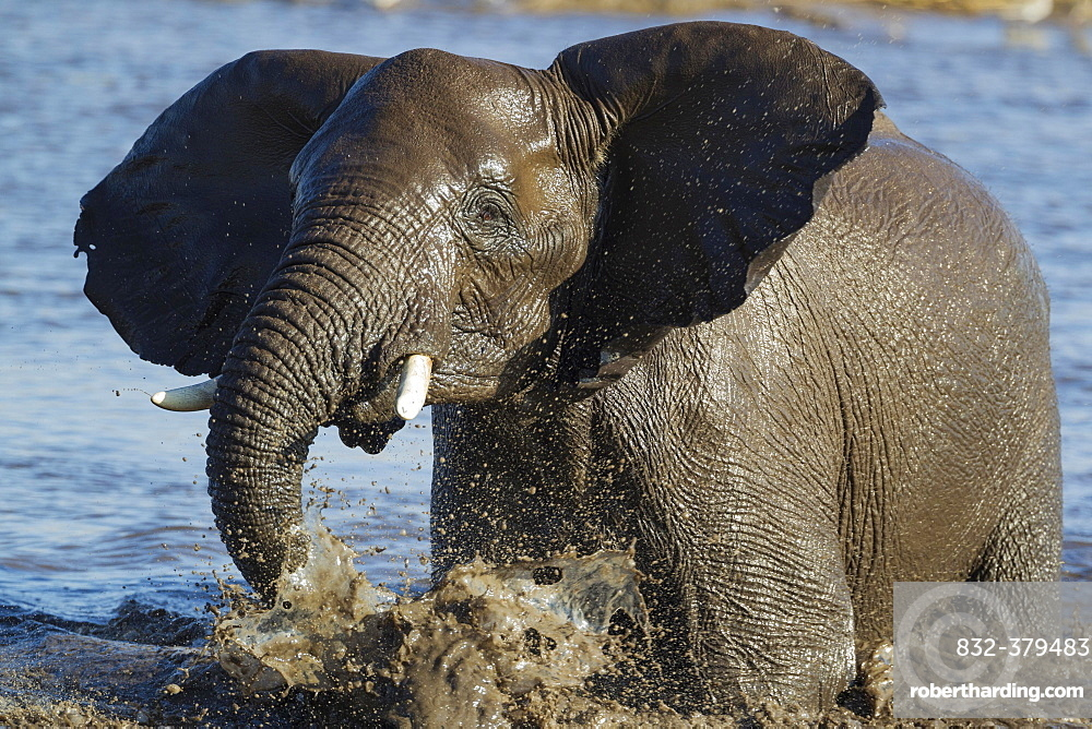 African elephant (Loxodonta africana) female having fun at waterhole, Etosha National Park, Namibia, Africa