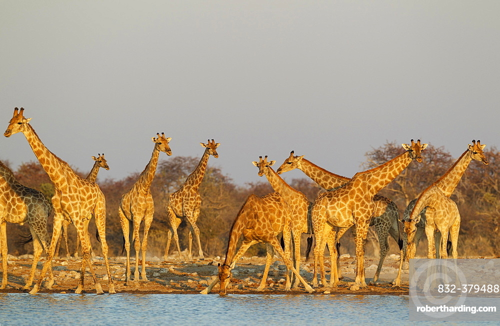 South African giraffes (Giraffa camelopardalis giraffa) meeting at waterhole, evening light, Etosha National Park, Namibia, Africa