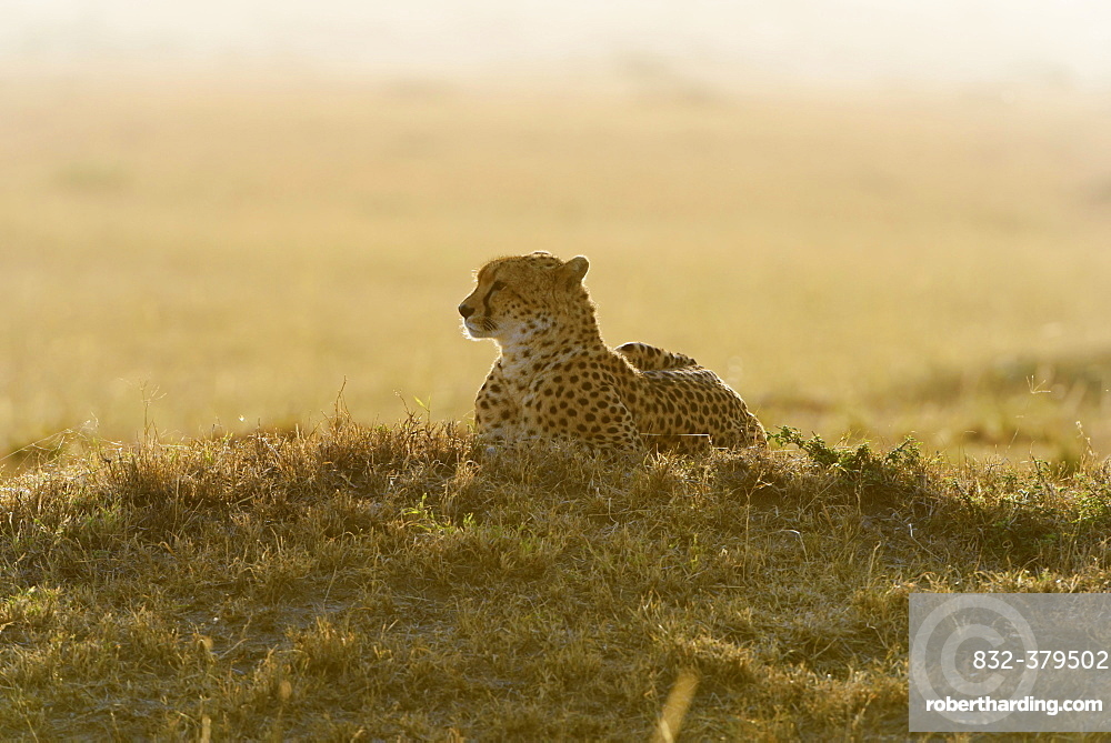 Cheetah (Acinonyx jubatus), in the morning, backlit, Maasai Mara National Reserve, Narok County, Kenya, Africa