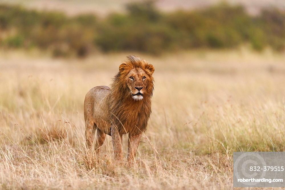 Male lion (Panthera leo) in morning light, Masai Mara, Narok County, Kenya, Africa