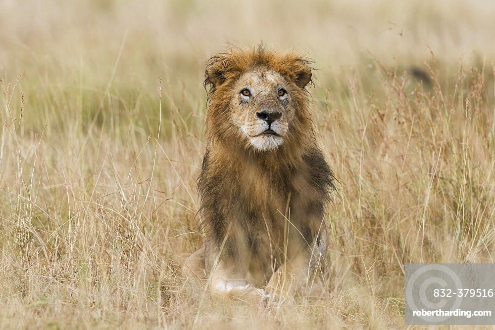Lion (Panthera leo), male with wet mane lying in grass, Masai Mara, Narok County, Kenya, Africa