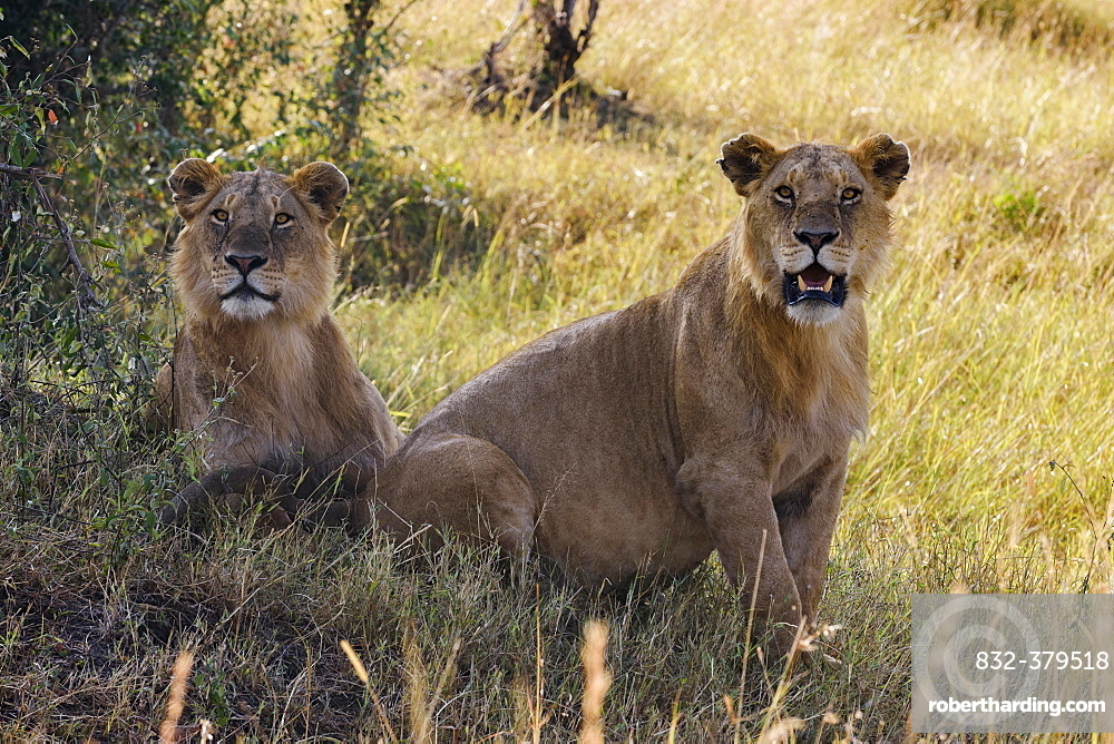 Two young male lions (Panthera leo) observing in shadow of bush, Masai Mara, Narok County, Kenya, Africa
