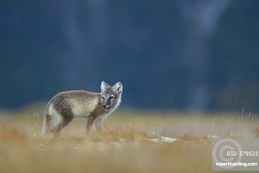 Arctic fox (Vulpes lagopus), puppy looking over shoulder in the Fell, Dovrefjell, Norway, Europe