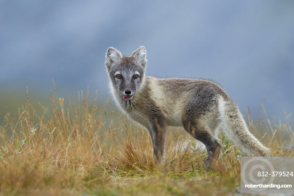 Arctic fox (Vulpes lagopus), puppy with tongue out, in the Fell, Dovrefjell, Norway, Europe
