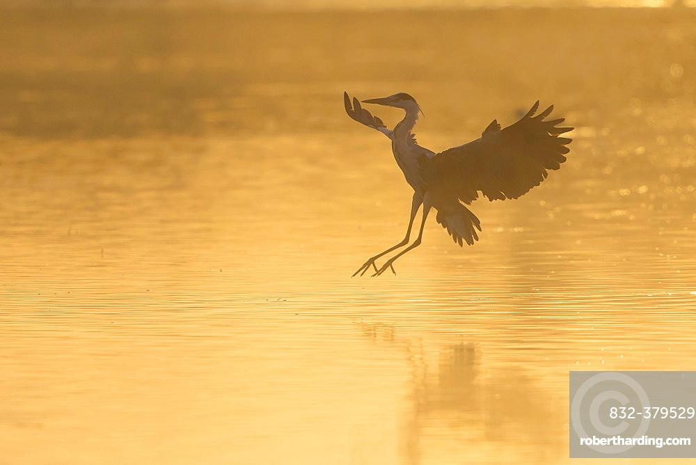 Grey Heron (Ardea cinerea), landing, in the morning light, Lower Saxony, Germany, Europe
