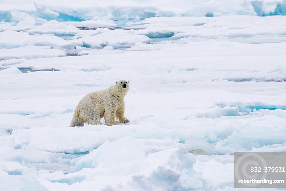 Polar Bear (Ursus maritimus) on pack-ice, Spitsbergen, Norway, Europe