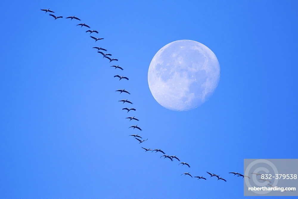 Common cranes (Grus grus) flying in formation at full moon, Hesse, Germany, Europe
