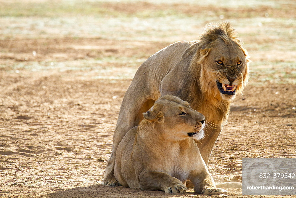 Lion (Panthera leo) growls during mating with female, Erindi Reserve, Namibia, Africa