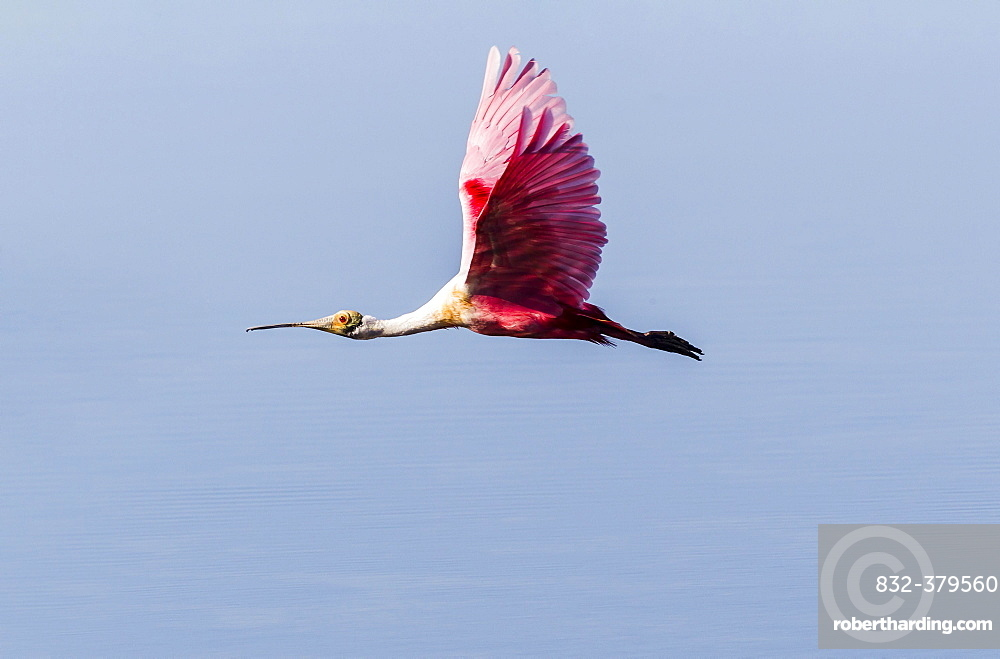 Roseate Spoonbill (Ajaia ajaja) in flight, Ding Darling National Wildlife Refuge, Sanibel Island, Florida, USA, North America