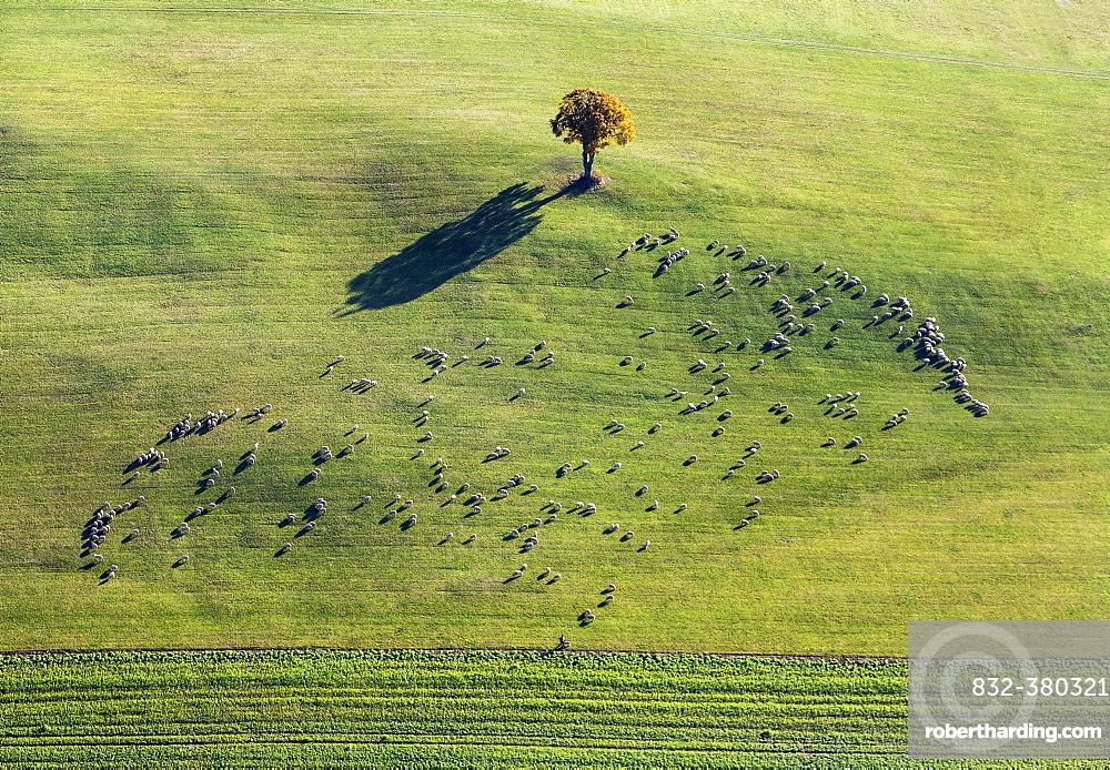 Flock of sheep on pasture with beech tree, Shadow, Aerial View, Swabian Jura, Ennabeuren, Heroldstatt, Baden-Wuerttemberg, Germany, Europe