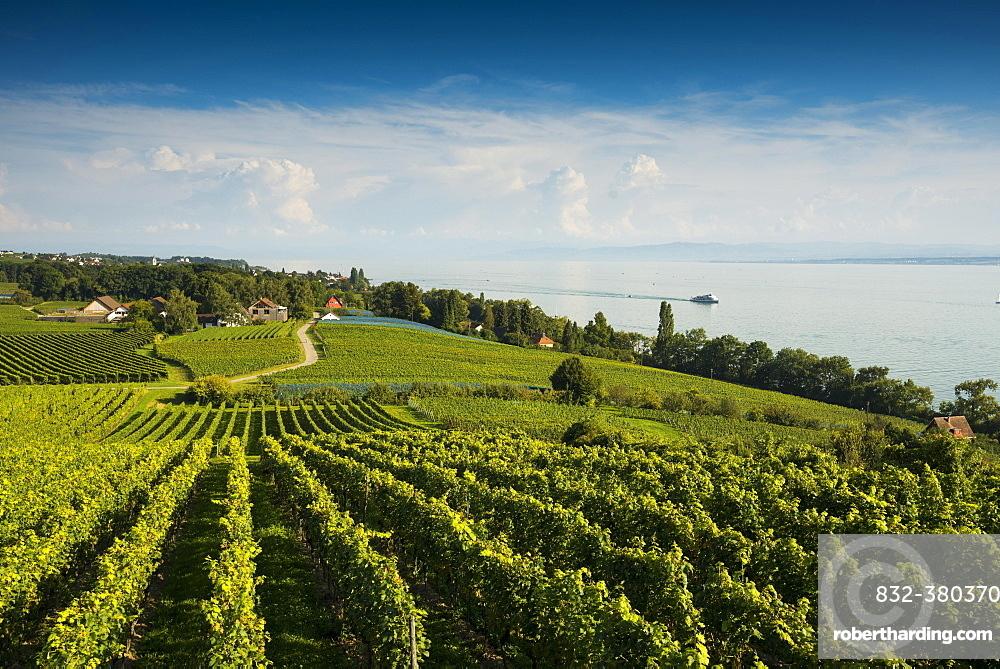 Vineyards between Hagnau and Meersburg, Meersburg, Lake Constance, Baden-Württemberg, Germany, Europe