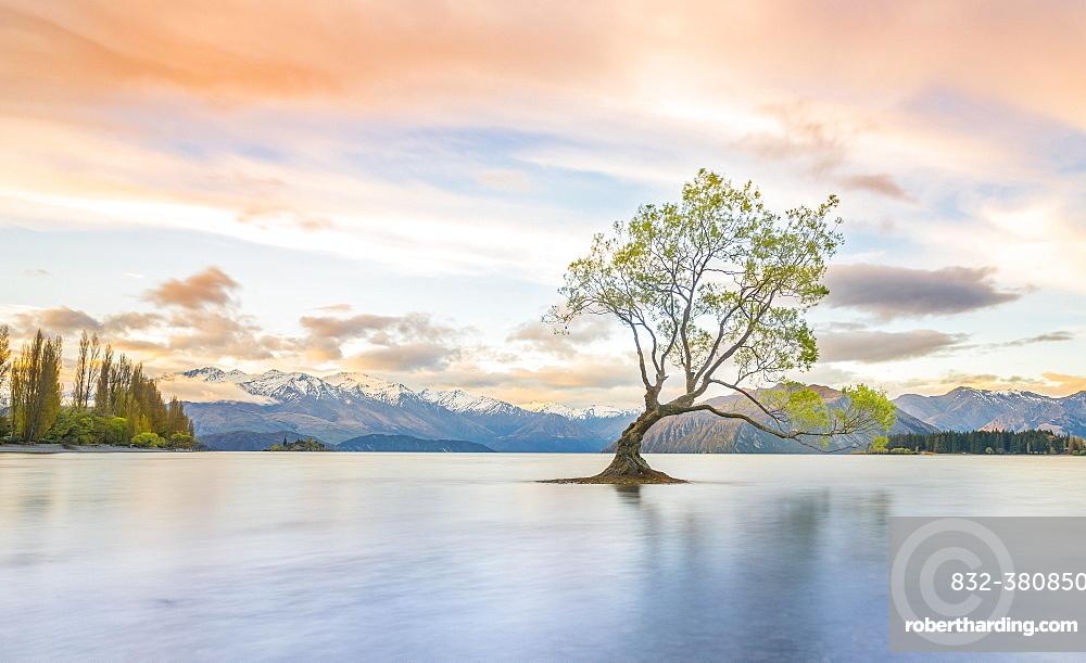 Sunrise, single tree standing in water, Lake Wanaka, The Wanaka Tree, Roys Bay, Otago, Southland, New Zealand, Oceania