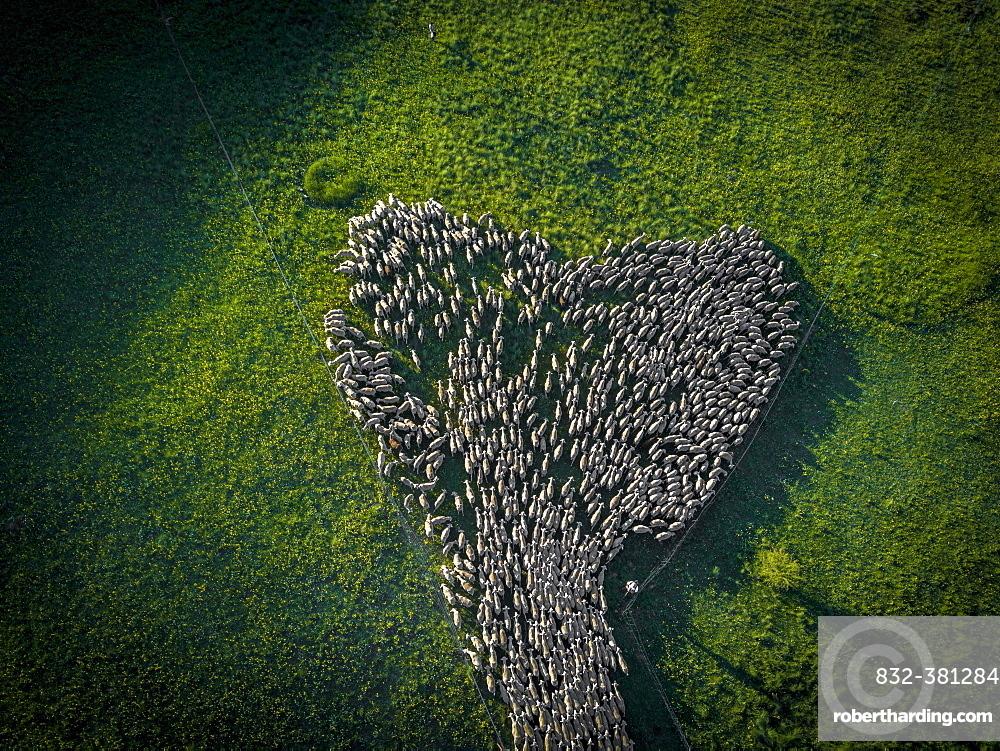 Aerial view of a flock of sheep during the transhumance in the Soria region, Arévalo de la Sierra, Castilla y León, Spain, Europe