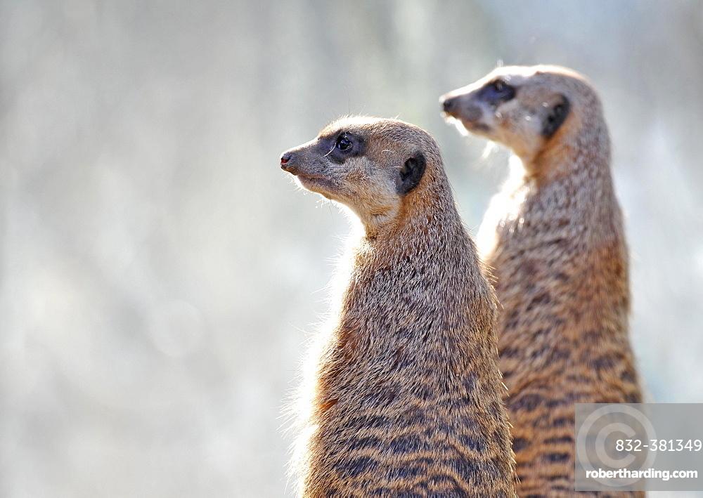 Meerkats (Suricata suricatta), captive, native to Africa, Stuttgart, Baden-Württemberg, Germany, Europe