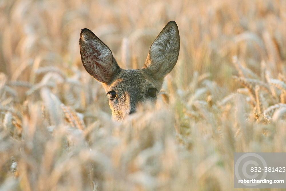 Roe Deer (Capreolus capreolus), in a wheat field, Lower Austria, Austria, Europe