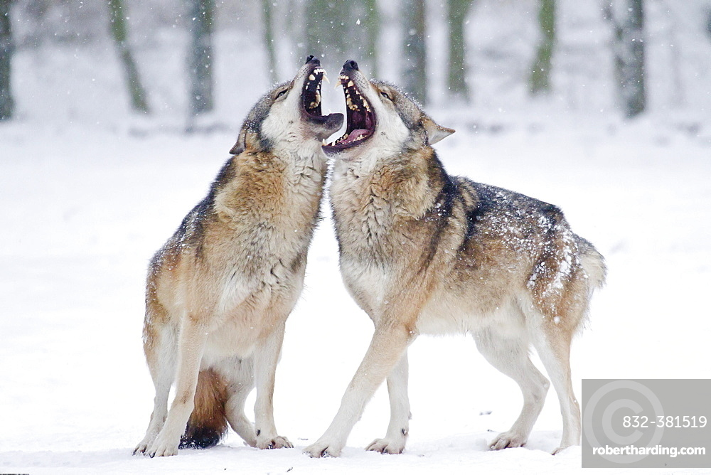 Two howling wolves (Canis lupus) in the snow, captive, Germany, Europe