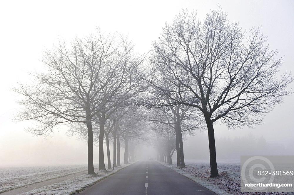 Tree-lined avenue in mist