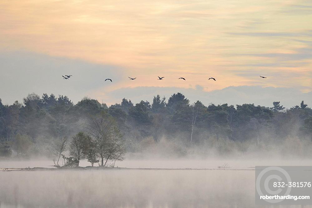 Cranes (Grus grus) flying over wetlands in the morning, Tiste Bauernmoor, Burgsittensen, Lower Saxony, Germany, Europe