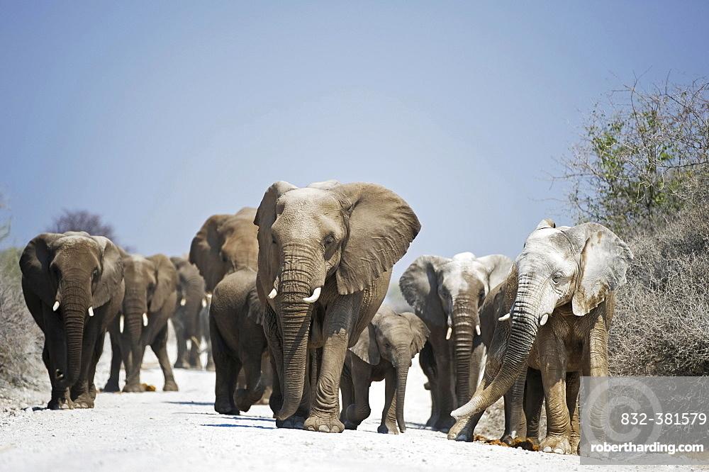 A herd of African Elephants (Loxodonta africana) walking on dirt road, Etosha National Park, Namibia, Africa