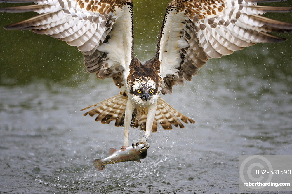 Osprey (Pandion haliaetus) in flight with a Rainbow Trout (Oncorhynchus mykiss) as prey, Pothiolampi, Kangasala, Westfinnland, Finland, Europe