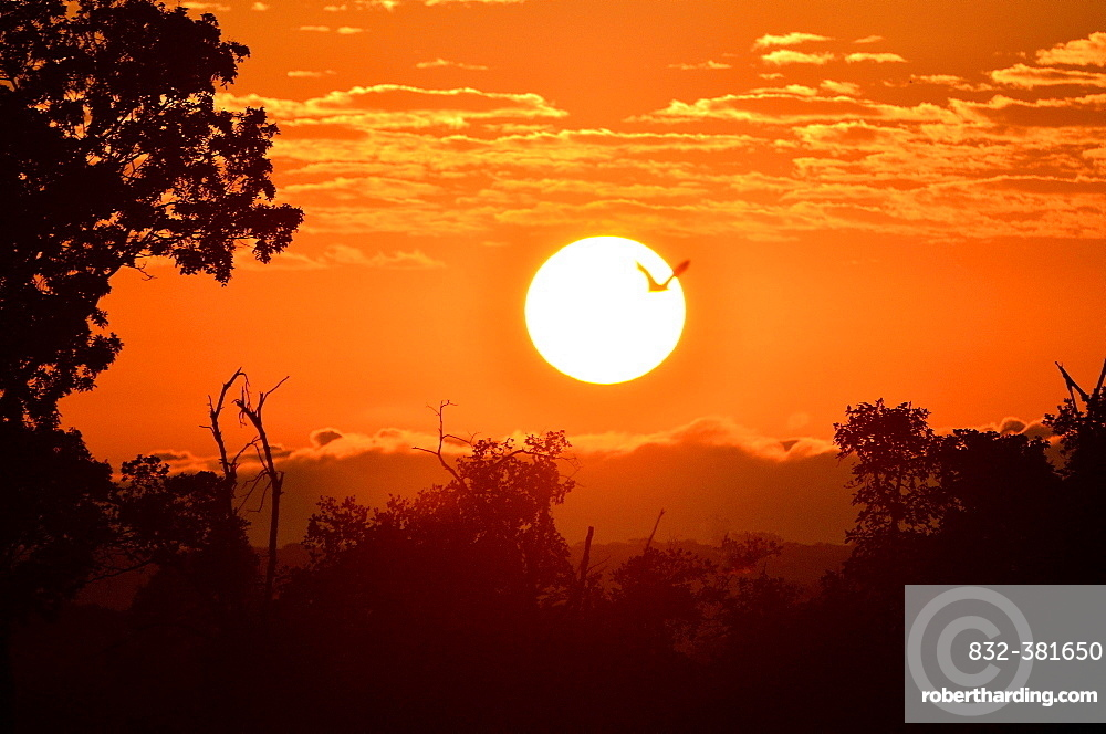 Straw-coloured Fruit Bat (Eidolon helvum), in flight at sunrise, Kasanka National Park, Zambia, Africa