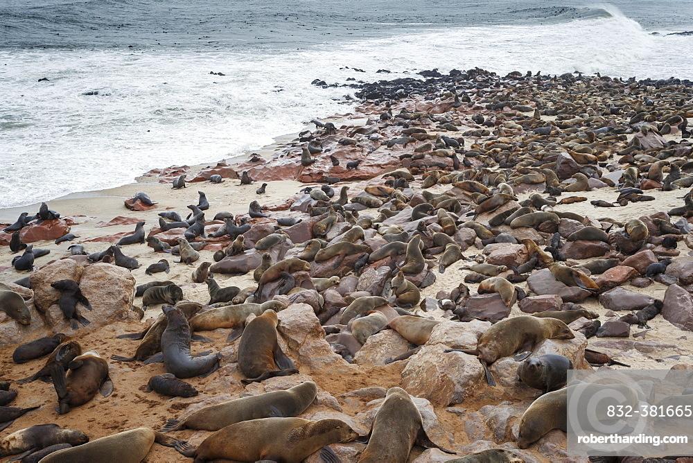 Brown Fur Seal colony (Arctocephalus Pusillus) resting along the coast, Cape Cross, Skeleton Coast, Namibia, Africa
