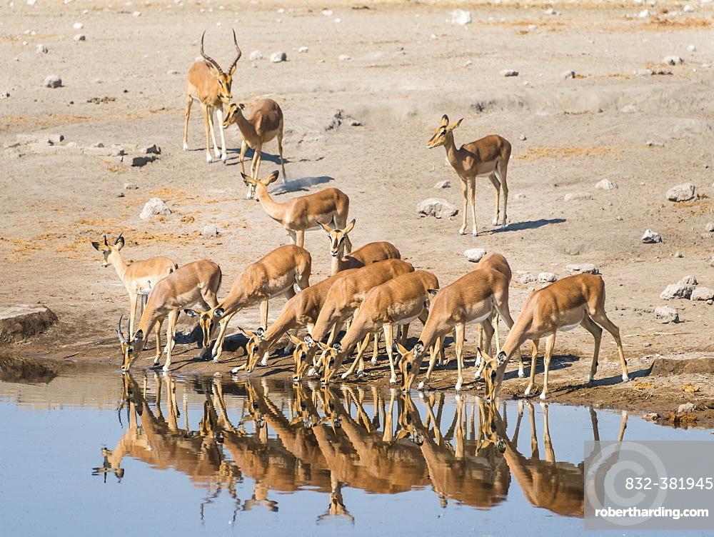 Herd of Black-faced Impalas (Aepyceros melampus petersi) drinking, Chudop water hole, Etosha National Park, Namibia, Africa