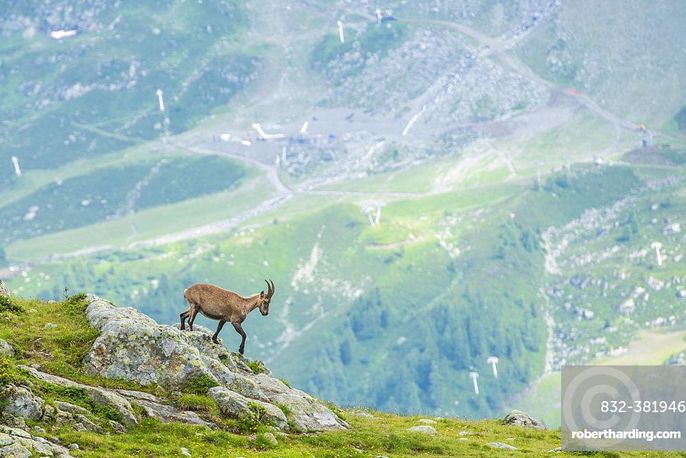 Alpine Ibex (Capra ibex) on the edge of a cliff, Lac Blanc, Mont Blanc, France, Europe