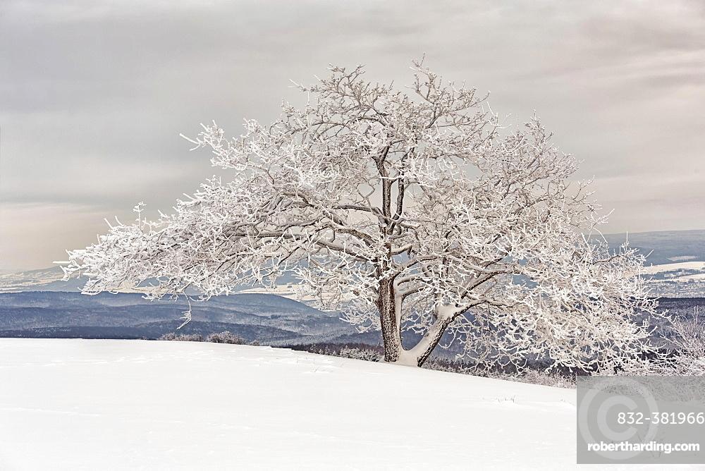 Snow-covered Oak on Koterberg hill, Lugde, Weser Uplands, North Rhine-Westphalia, Germany, Europe