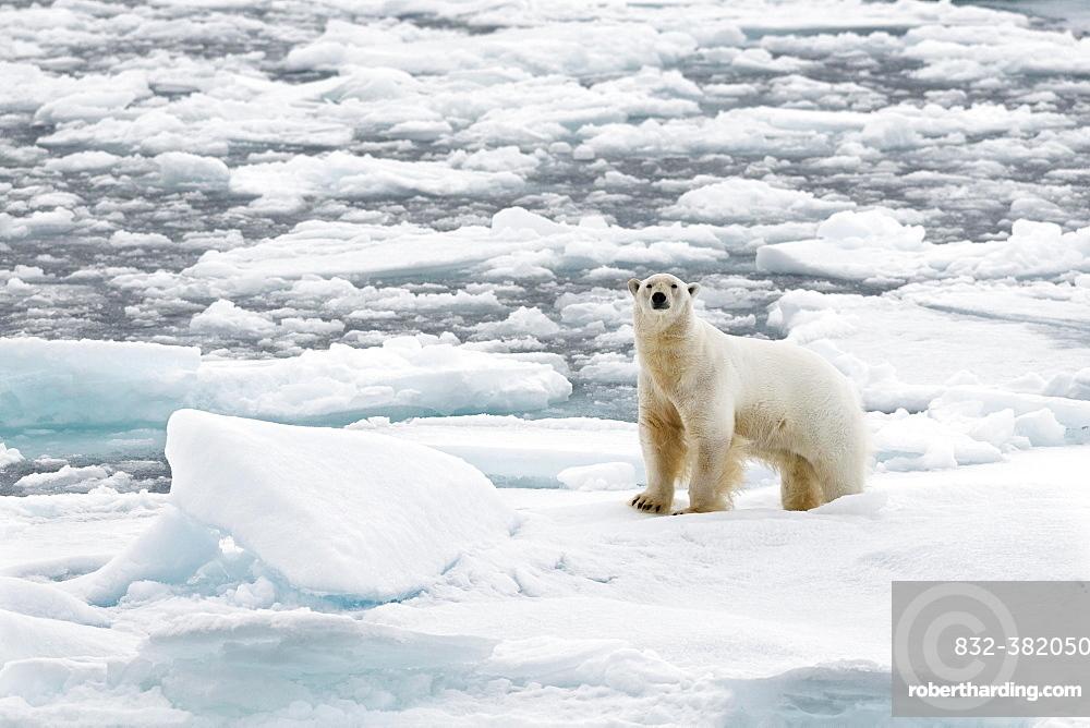 Polar Bear (Ursus maritimus), male standing on pack ice, Spitsbergen Island, Svalbard Archipelago, Svalbard and Jan Mayen, Norway, Europe