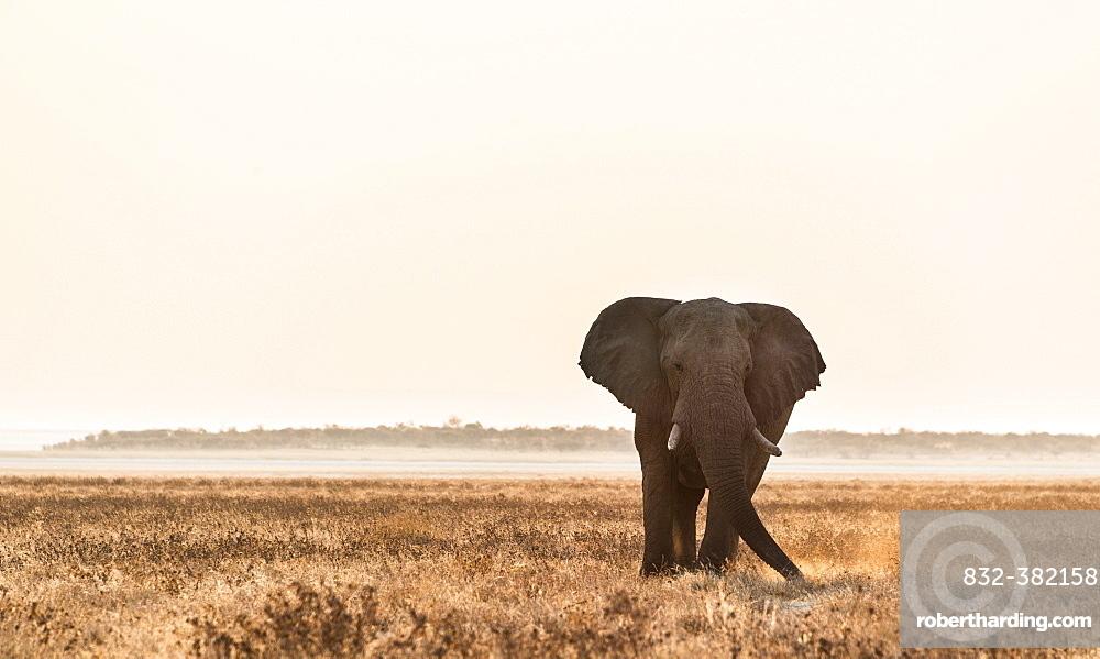 Elephant walking over the dry grasslands, African Elephant (Loxodonta africana), Etosha National Park, Namibia, Africa