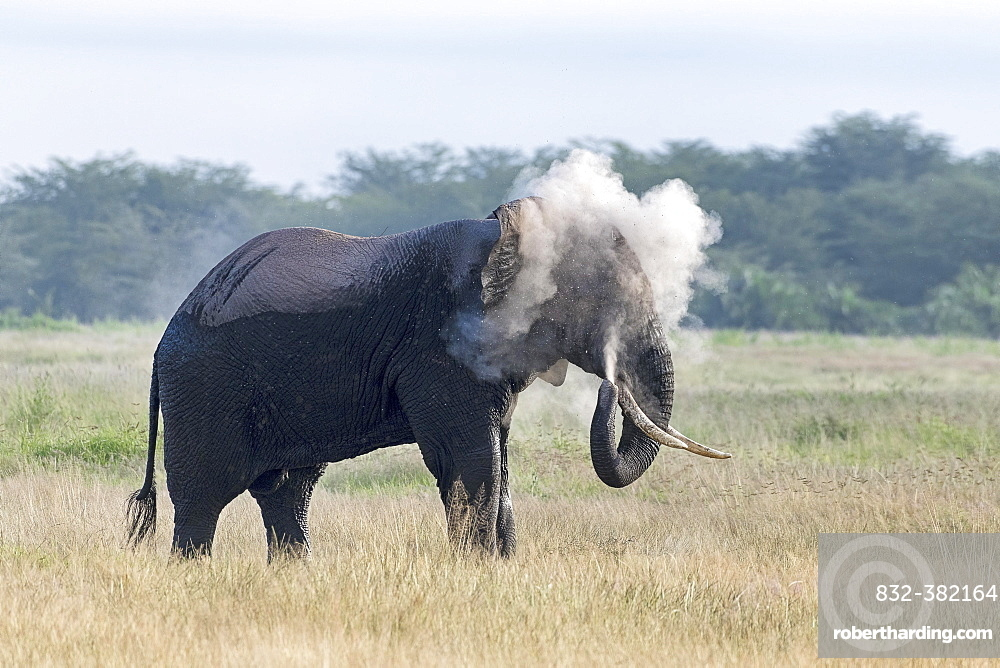 African elephant (Loxodonta africana) covers with dust, behavior, Amboseli National Park, Kenya, East Africa, Africa