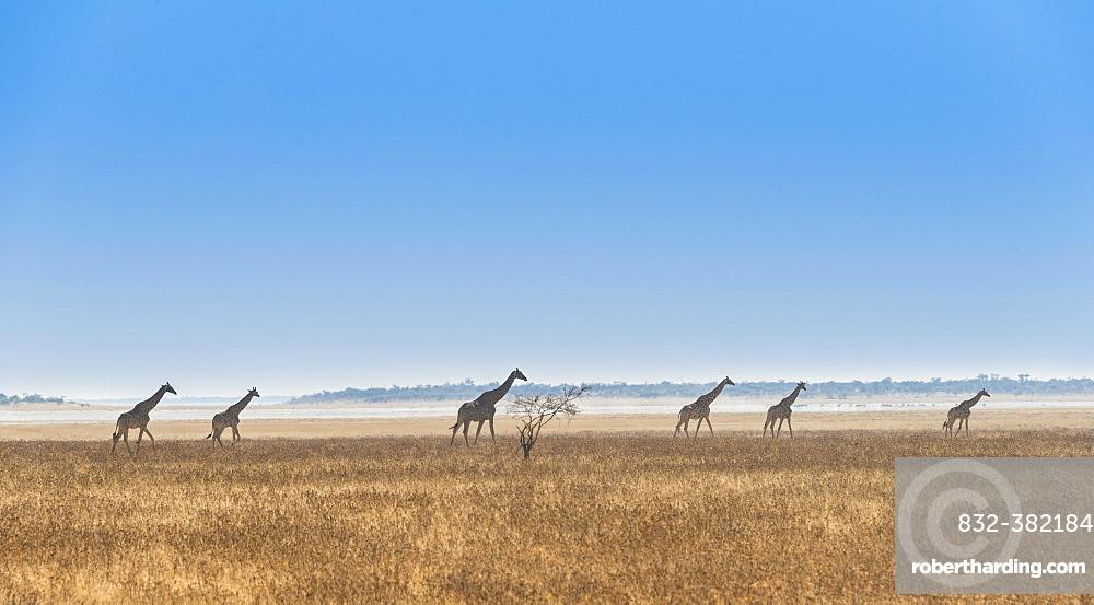 Giraffes (Giraffa camelopardis) walking through the dry grass, Etosha National Park, Namibia, Africa