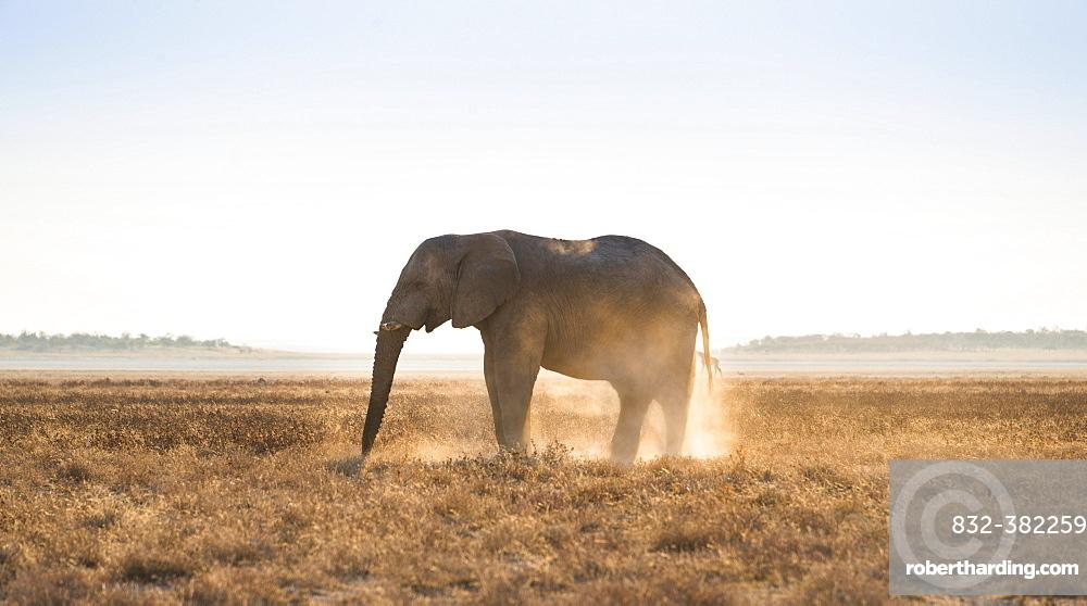 Elephant in the evening light on dry grassland, African Elephant (Loxodonta africana), Etosha National Park, Namibia, Africa