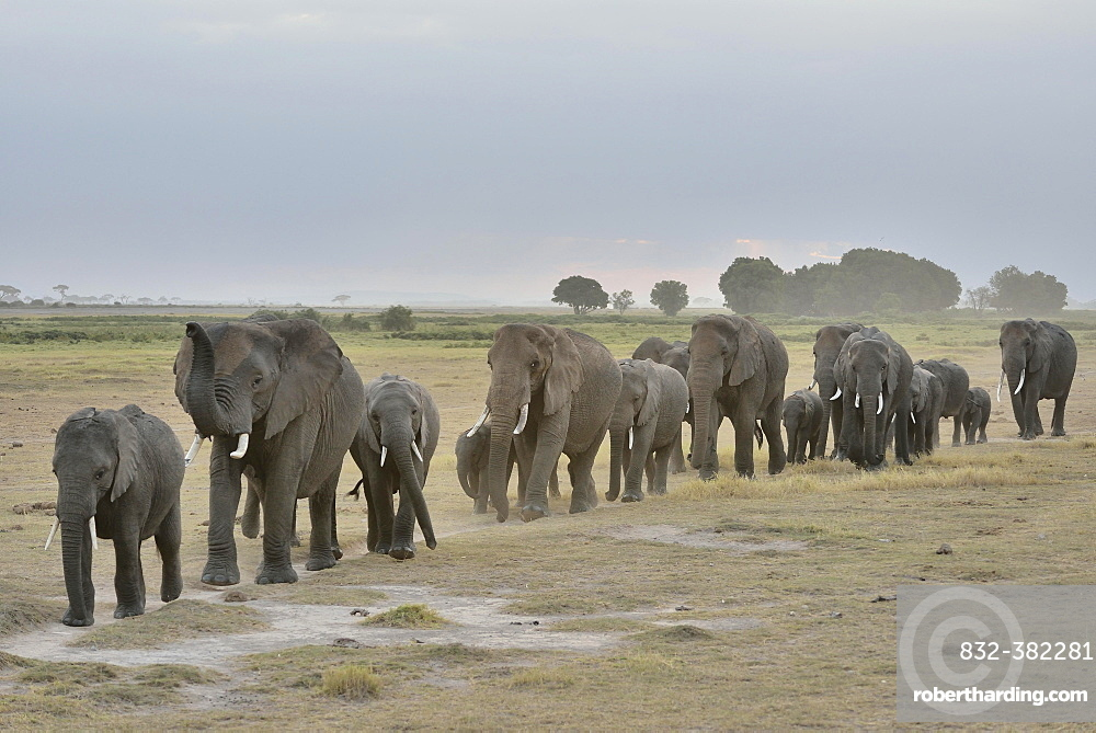 Herd of African Bush Elephants (Loxodonta africana), Amboseli National Park, Rift Valley Province, Kenya, Africa