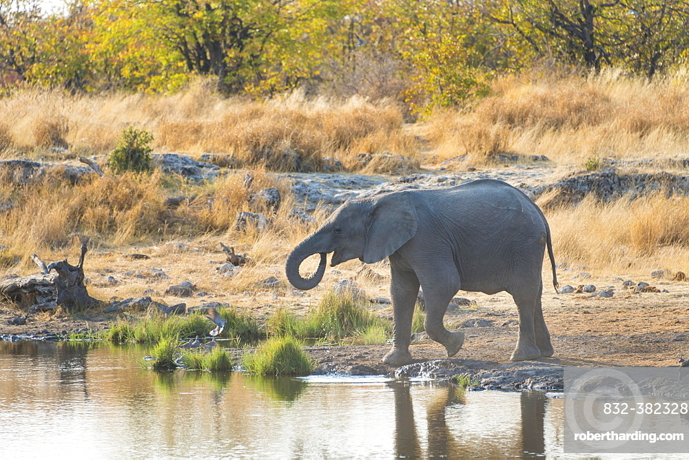 Young African Elephant (Loxodonta africana) drinking at the Nuamses waterhole, Etosha National Park, Namibia, Africa
