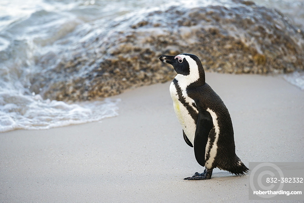 African Penguin (Spheniscus demersus) on the sandy beach, Boulders Beach, Simon's Town, Western Cape, South Africa, Africa