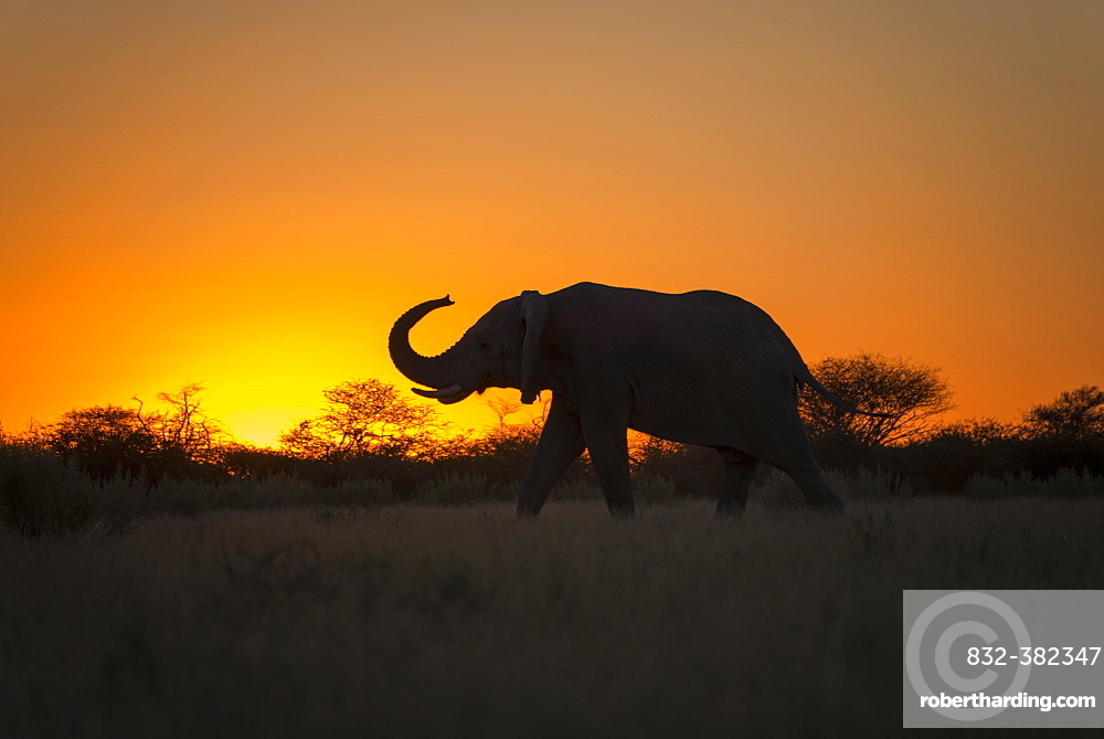African elephant (Loxodonta africana) with raised trunk at sunset, silhouette, backlight, Nxai Pan National Park, Botswana, Africa