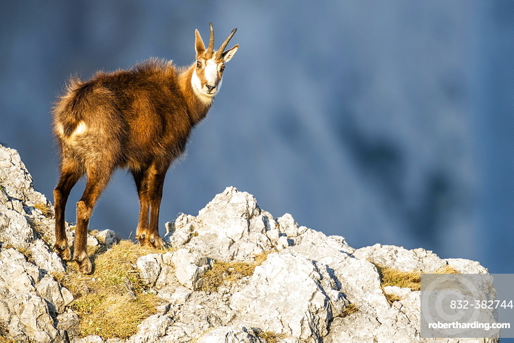 Chamois (Rupicapra rupicapra), stands in the rocky mountains, Berchtesgaden Alps, Austria, Europe