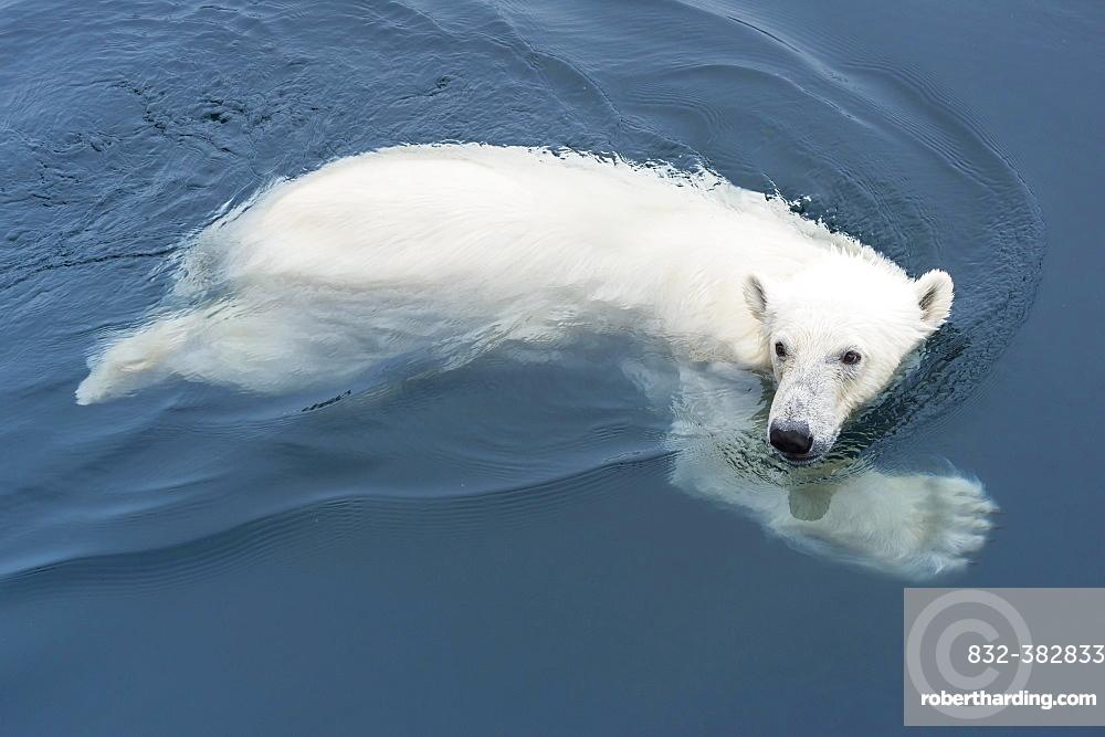 Polar Bear (Ursus maritimus) swimming, Svalbard Archipelago, Norway, Europe