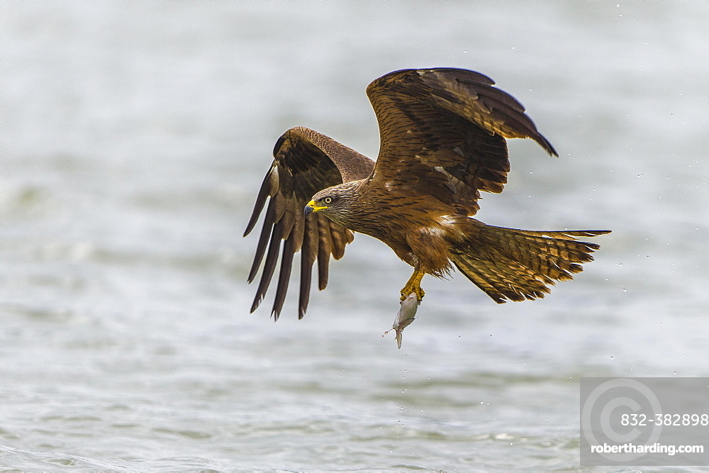 Black kite (Milvus migrans) in flight with fish as prey, Lake Malchiner See, Mecklenburg-Western Pomerania, Germany, Europe