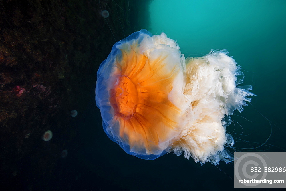 Lion's mane jellyfish (Cyanea capillata), Norwegian Sea, Northern Atlantic, Norway, Europe