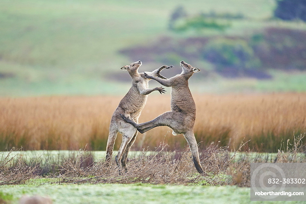 Eastern Gray Kangaroo (Macropus giganteus), two males fighting on a meadow, Great Otway National Park, Victoria, Australia, Oceania