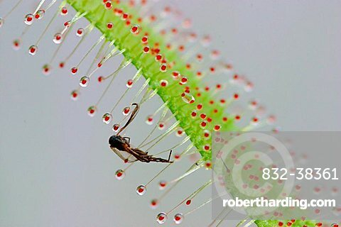 Caught insect in sticky hairs of African Sundew Drosera capensis carnivorous plant