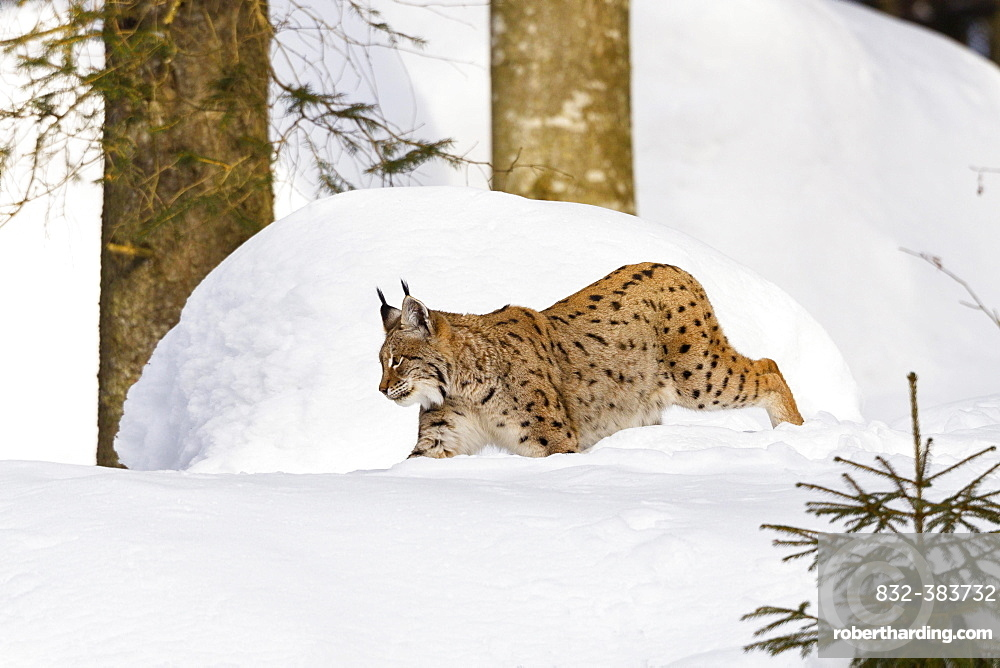 Eurasian lynx (Lynx lynx) in snow, winter, Bavarian Forest National Park, Bavaria, Germany, Europe