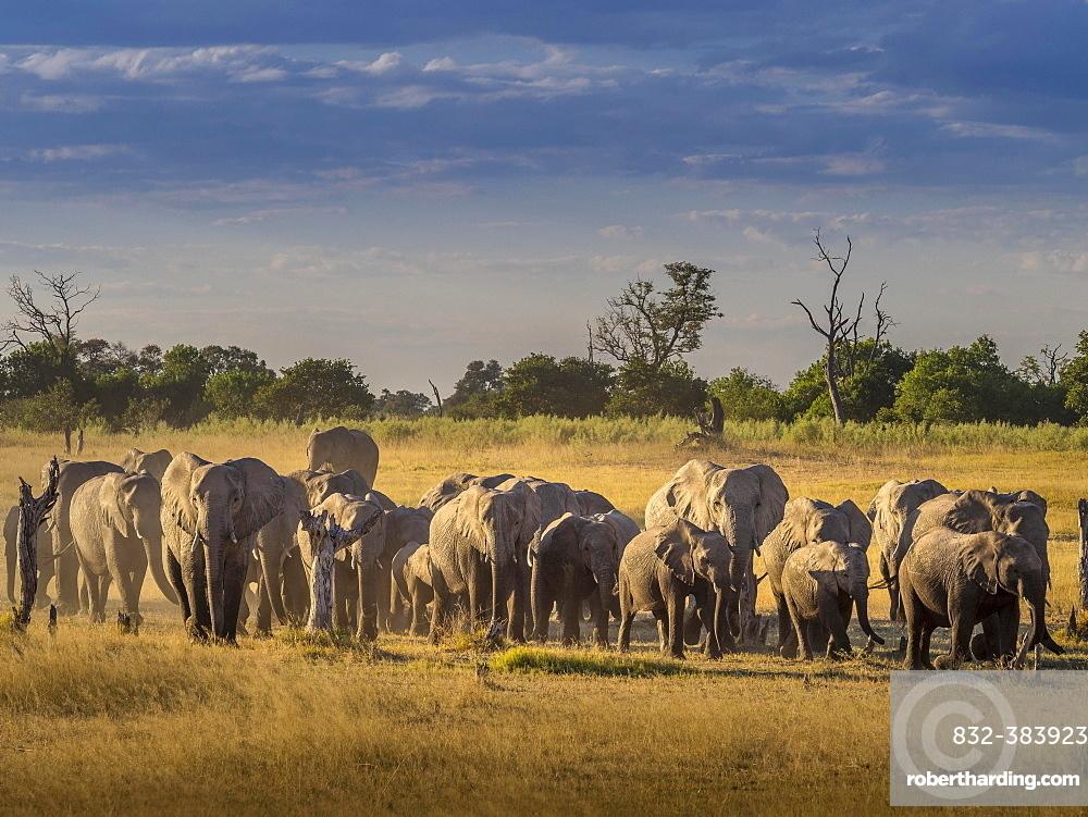 Elephant herd (Loxodonta africana) on the way to the water, Moremi National Park, Botswana, Africa
