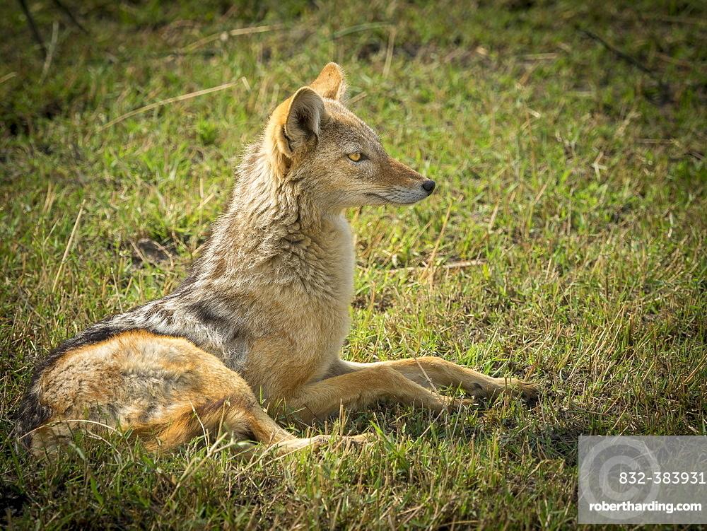 Black-backed Jackal (Canis mesomelas), looks attentively, Moremi Game Reserve, Botswana, Africa
