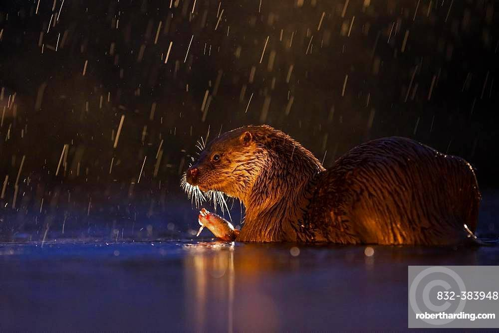 European otter (Lutra lutra) in rain with captured fish in backlight, Kiskunsagi National Park, Hungary, Europe