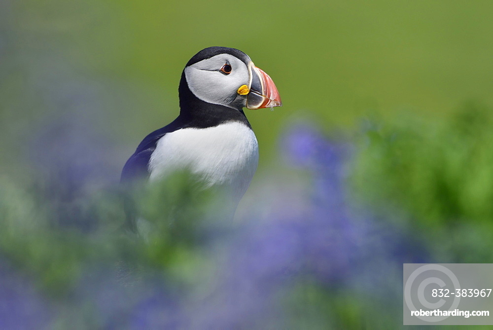 Puffin (Fratercula arctica) sitting between blue flowers, Lunga Island, Scotland, Great Britain